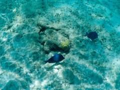 Fische Aruba