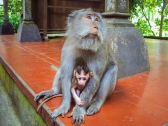 Affen Bali
