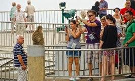 Barbary Macaque - Gibraltar