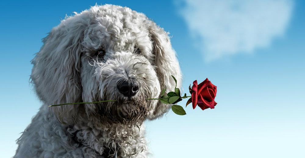 Valentines Day Fun Facts Dog TravelSmart VIP