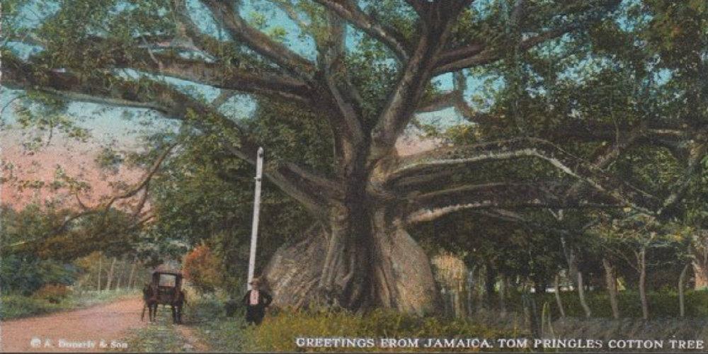 tom-cringle- silk-cotton-tree-postcard travelsmart vip