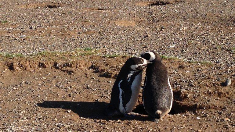 Magellan Pinguine Paar