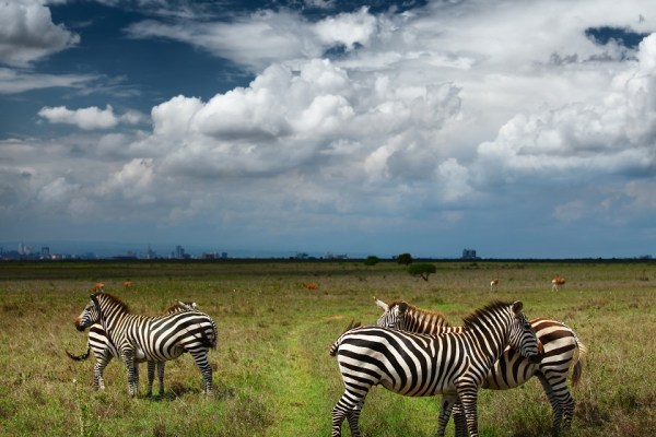 Zebras in savanna of Nairobi National Park. Nairobi skyline is v
