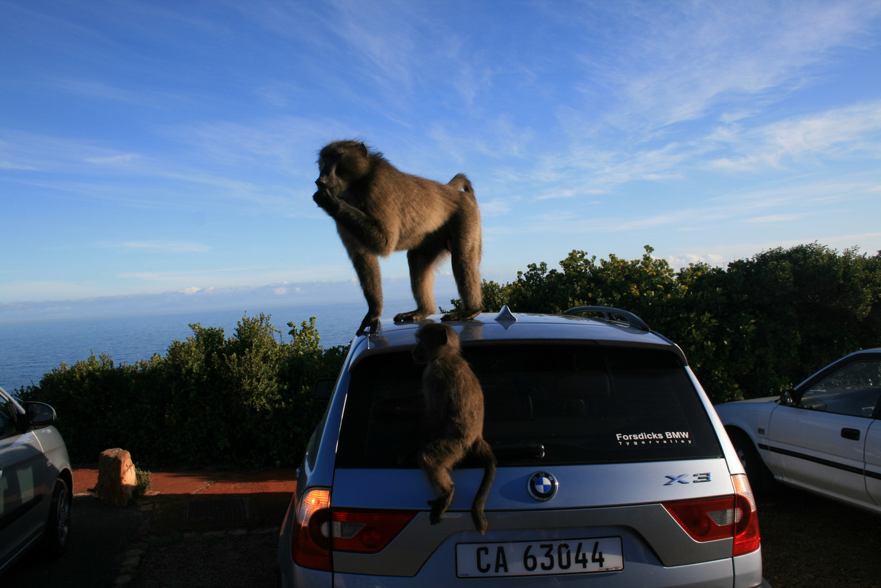 Baboons dominate a vehicle near the Cape of Good Hope.