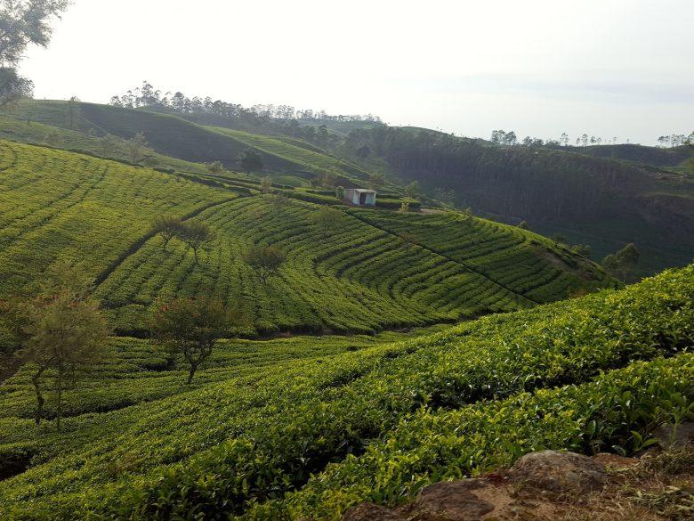 tea plantations backpacking Sri Lanka