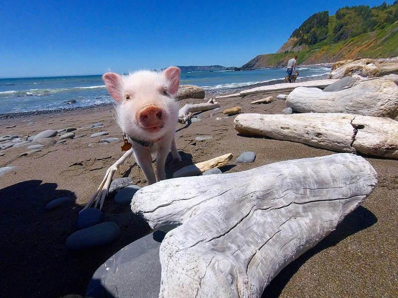pig on beach