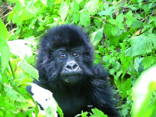Gorilla-Tracking-780x585