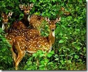 deers in rajiv Gandhi wild life sanctuary