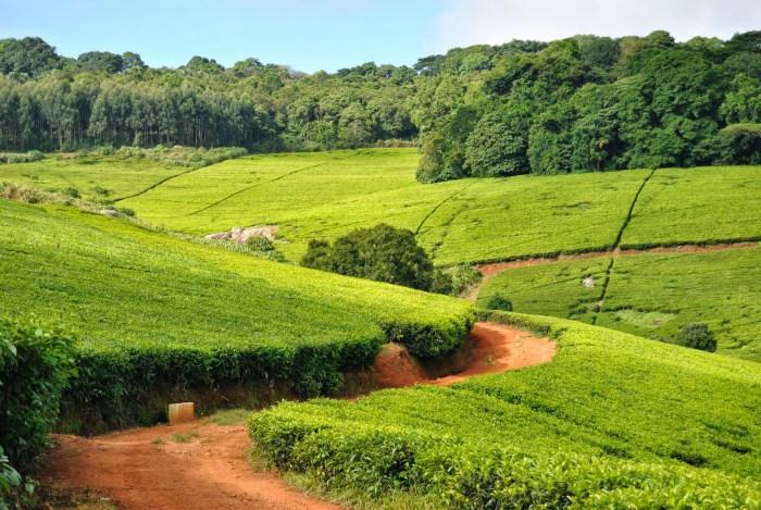 Le piantagioni di tè nei dintorni di Blantyre, Malawi