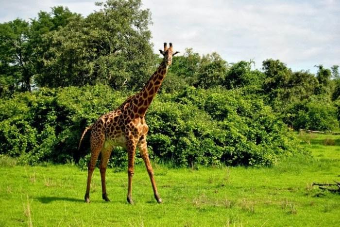 giraffa-south-luangwa