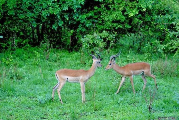 impala-south-luangwa