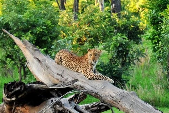 leopardo-south-luangwa