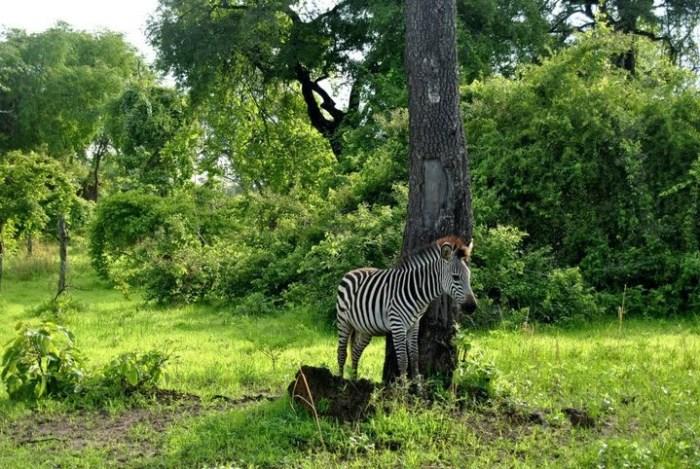 zebra-south-luangwa
