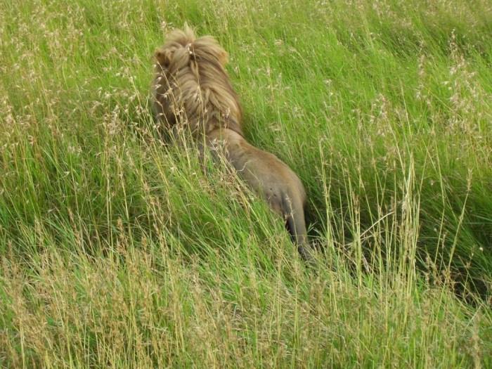 Leone nel Parco del Serengeti