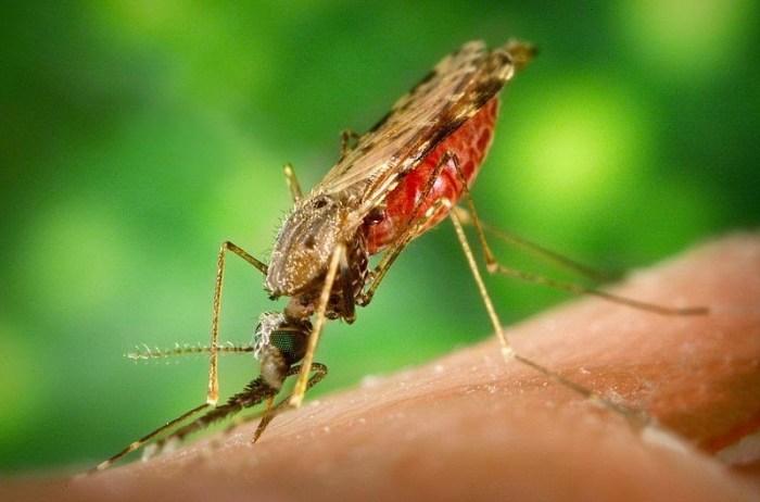 La zanzara anofele, la responsabile della malaria