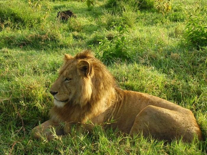 leone-ngorongoro