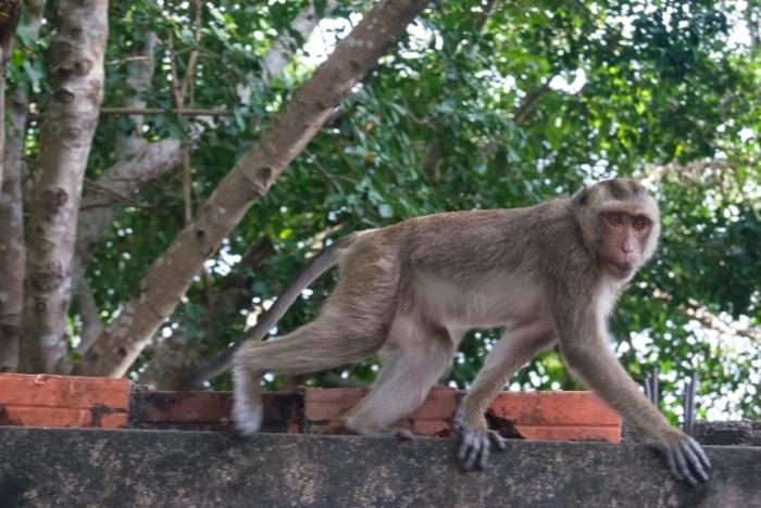 I macachi di Phnom Sampeau sono terribili!