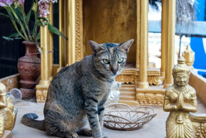 Gatto cambogiano, al lago Tonle Sap