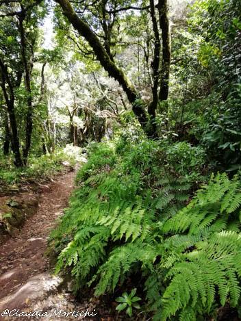 Foresta di laurisilva, Monti Anaga
