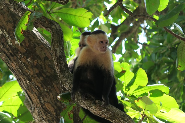 monkey in manuel antonio costa rica travel blog
