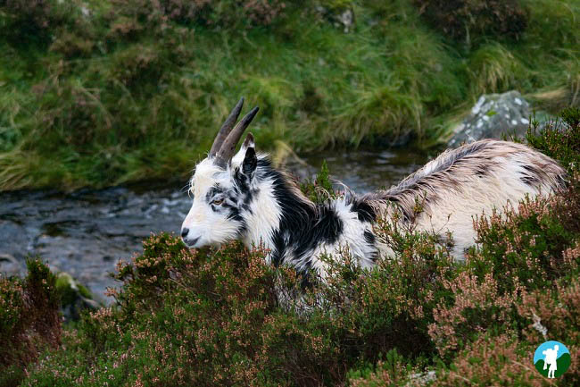 mountain goat grey mare's tail dumfries and galloway