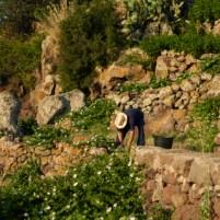 harvesting capers on Pantelleria