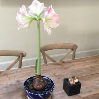 Amaryllis and Teacup Daffodils