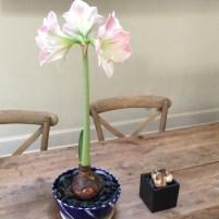 Amaryllis and Teacup Daffodils