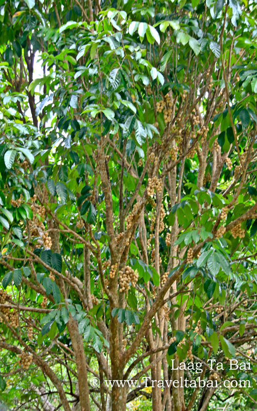 Image of a lansones tree, laden with fruits