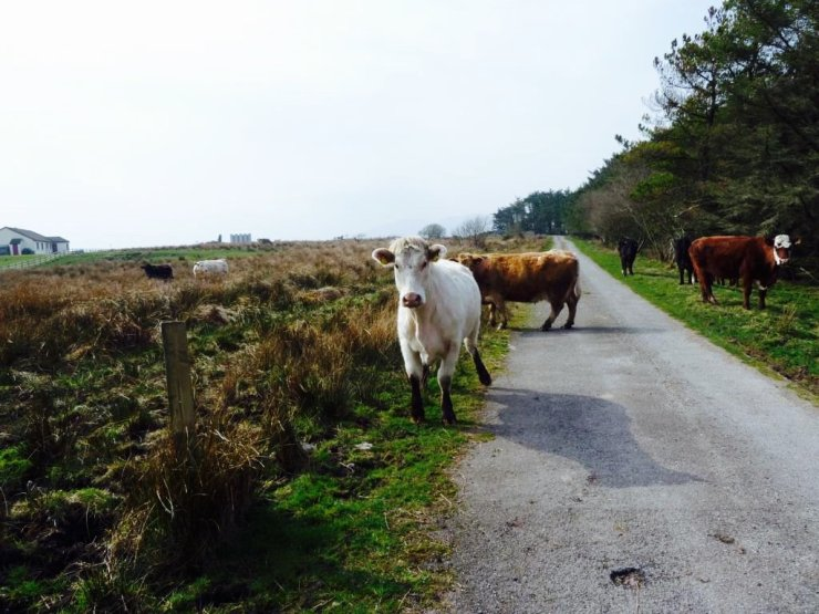 Cows on the street in Ireland