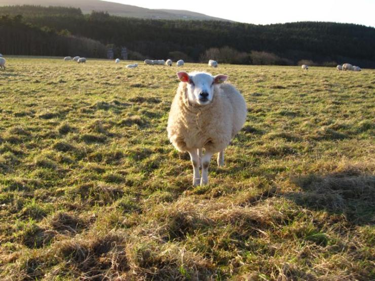 Sheeps everywhere...