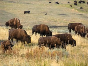 Lamar Valley | Yellowstone National Park