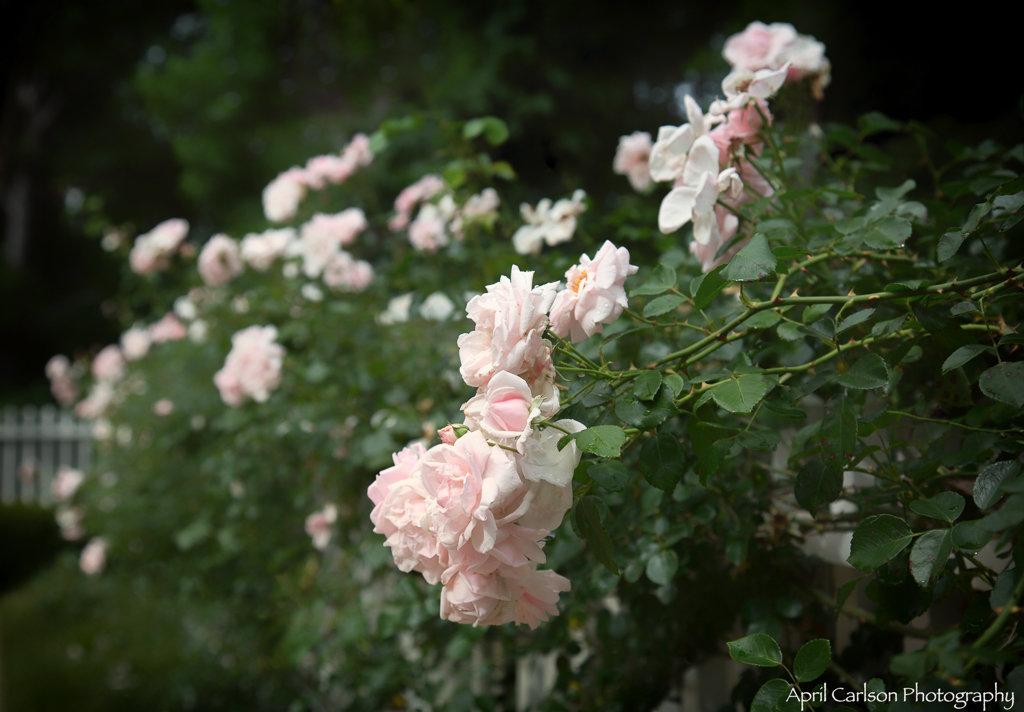 Gardens for Connoisseurs Tour 2017: Light pink roses on a white fence