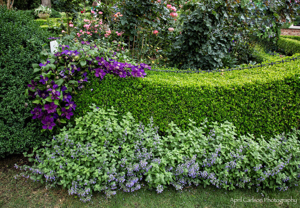 Gardens for Connoisseurs Tour 2017: Lovely garden hedge and purple flowers