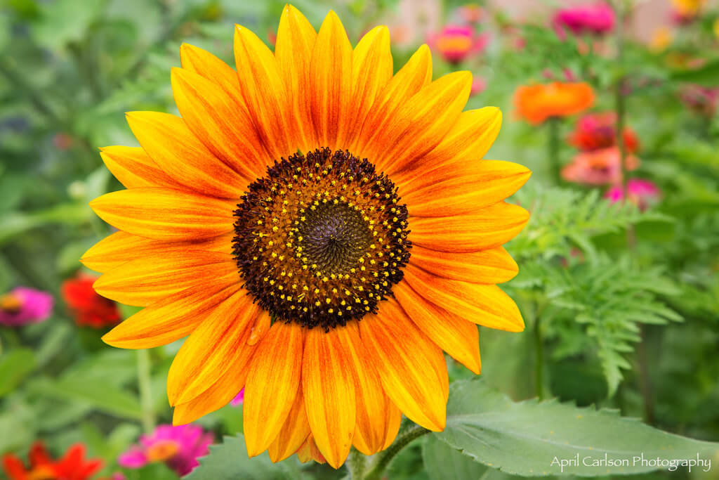 Sunflower Festival at Copper Creek Farm: Sunflower with zinnias in background