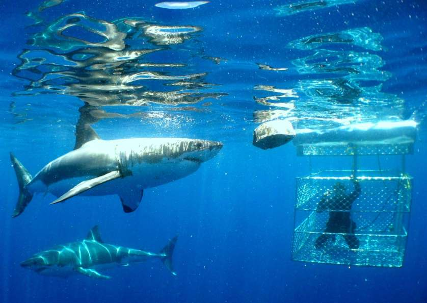 Dyer Island extreme shark diving