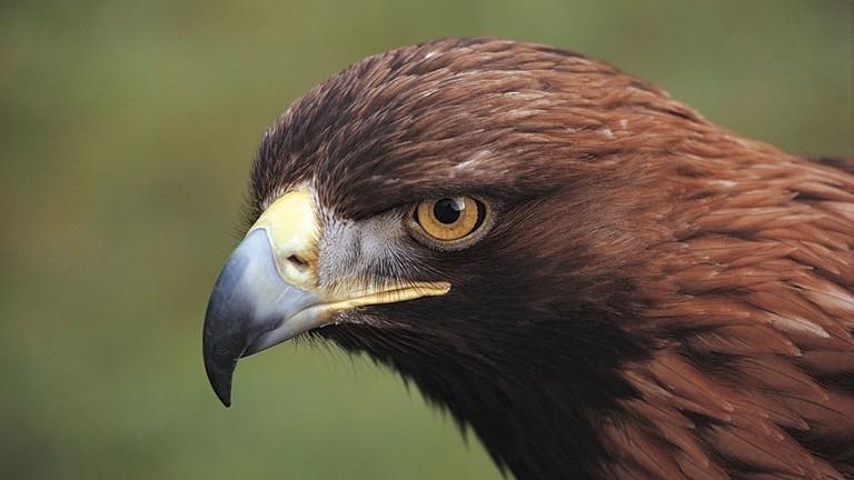 Prey Birds - Trossachs