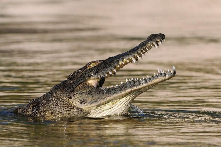 Crocodiles Snacking