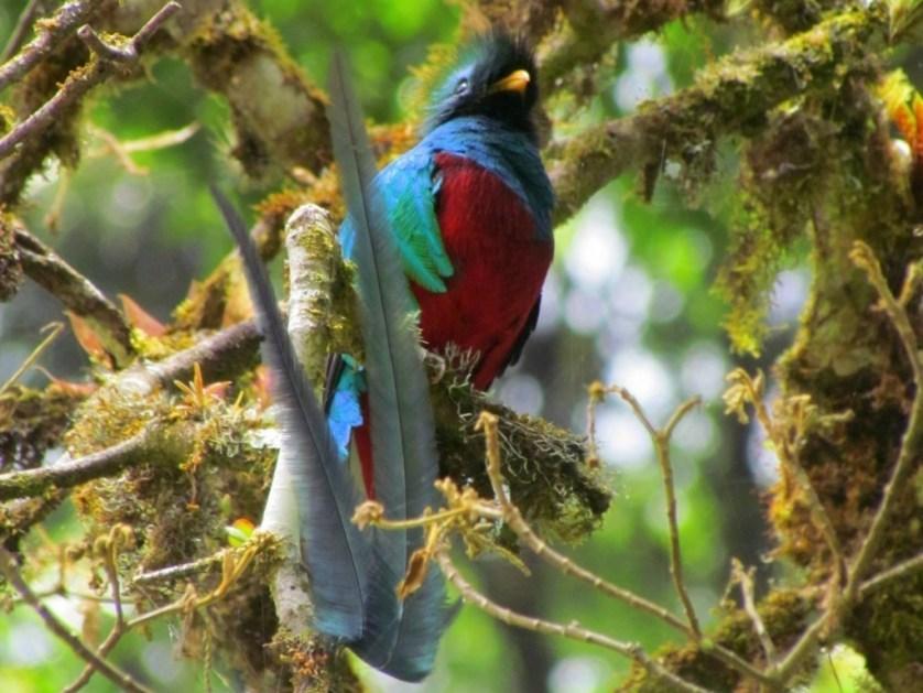 Resplendent Quetzal Viewing In Costa Rica