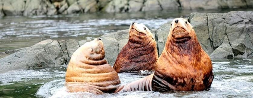 wildlife watching british columbia seals
