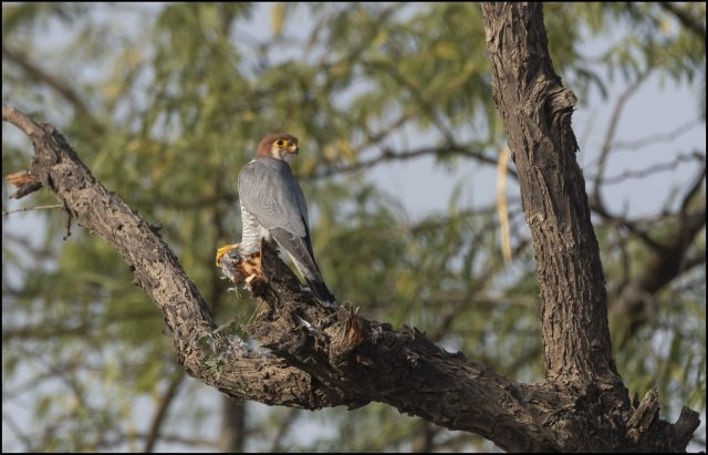 Falcons of India: Red-necked falcon