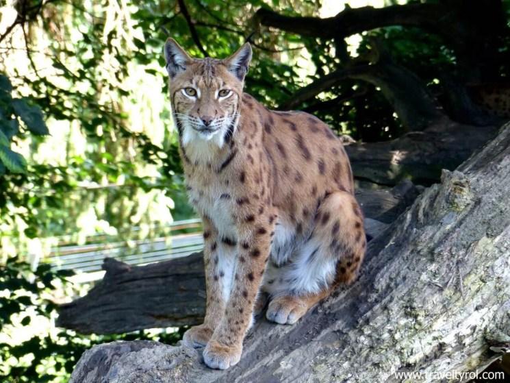 A lynx in the Alpine Zoo Innsbruck.
