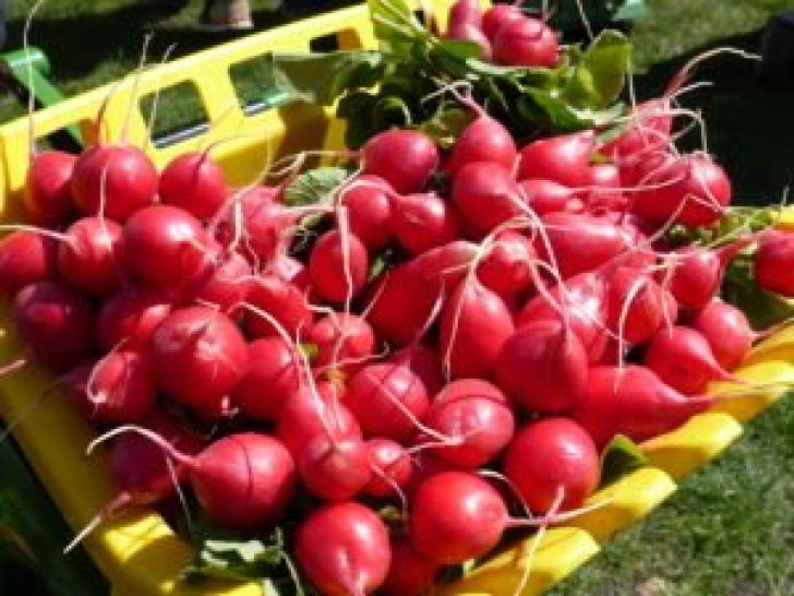 Radishes on tractor in Hall in Tyrol.