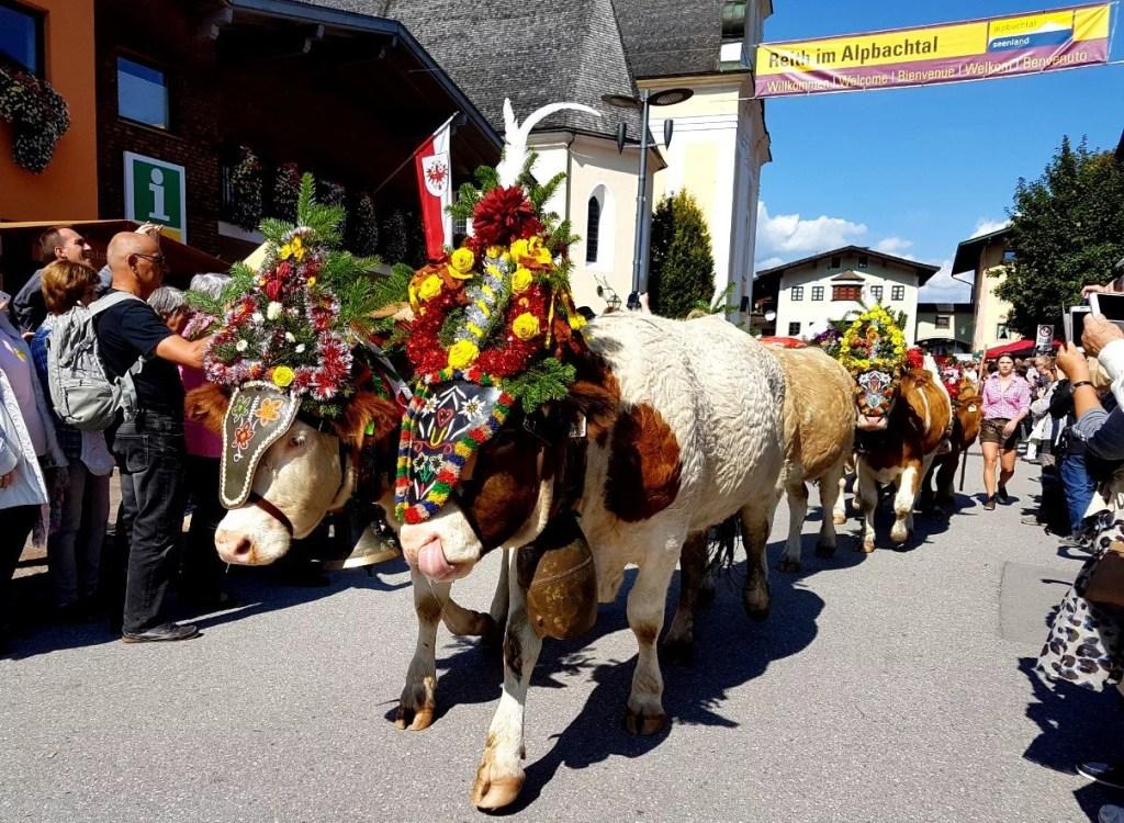 Almabtrieb cows enter Reith im Alpbachtal.