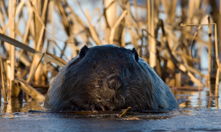 Paddling with Beavers