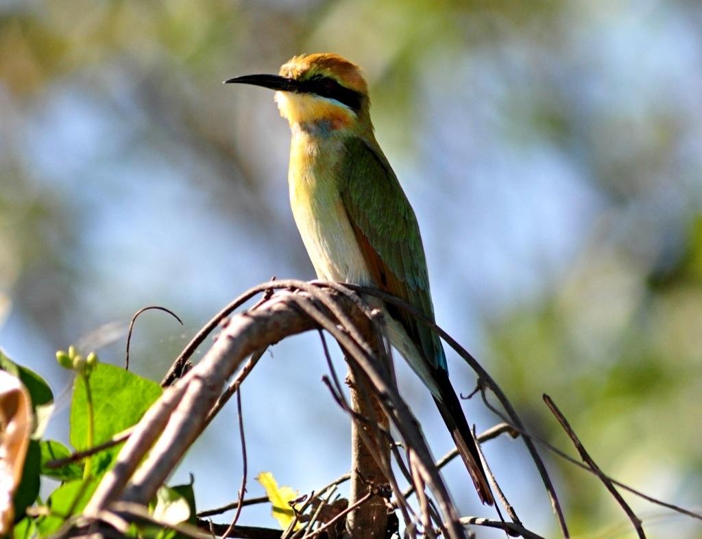 Rainbow bee-eater - Merops ornatus