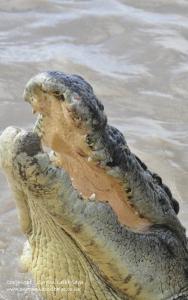 Crocodile jumping