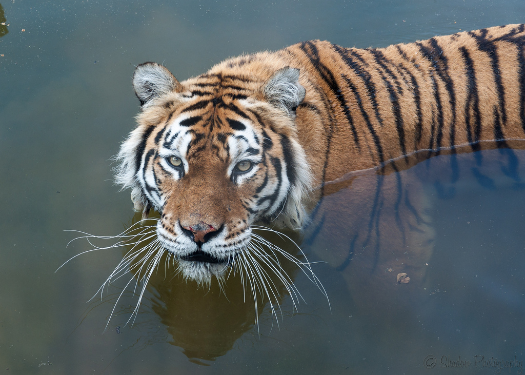 Kushka, Marwell Zoo's new tiger, cooling off - Photo by John Jefferies