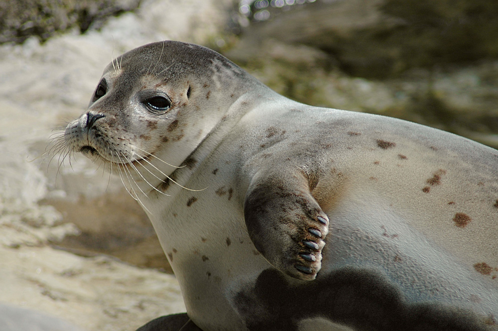 Harbour seal © Marcel Buckhard - source: www.wikimedia.org use under the creative commons licence