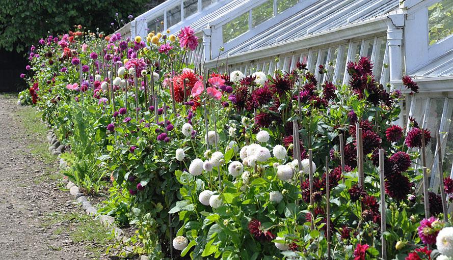 Clovelly Court Gardens dahlia beds providing cut flowers